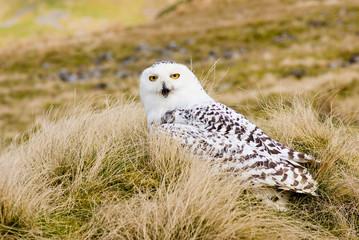 Snowy Owl on Moors (Landscape)