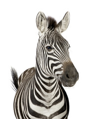 Aluminium Prints Zebra Front view of a Zebra in front of a white background