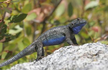 Fotoväggar - Blue-bellied or Western Fence Lizard (sceloporus occidentalis)