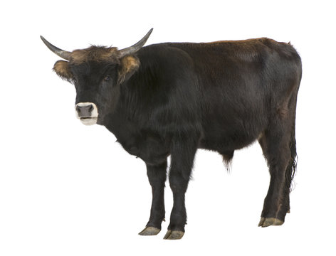 Heck Cattle - auroxen in front of a white background