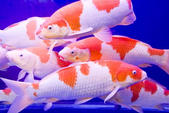 Big colorful Koi carp in a aquarium