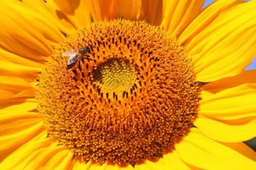 Bee on a sunflower