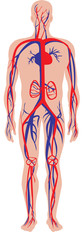 illustration of the human circulatory or cardiovascular system
