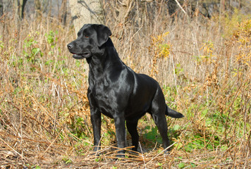 black labrador retriever in the woods in the autumn season