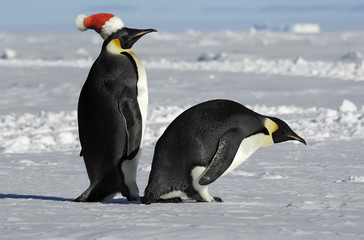 Antarctic penguin pair on Xmas