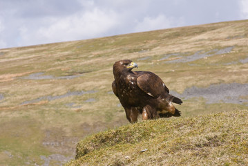 Golden Eagle (Landscape)