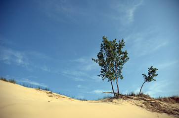 Trees at the edge of a sand dune