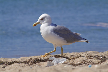 Seagull Walking on Beach