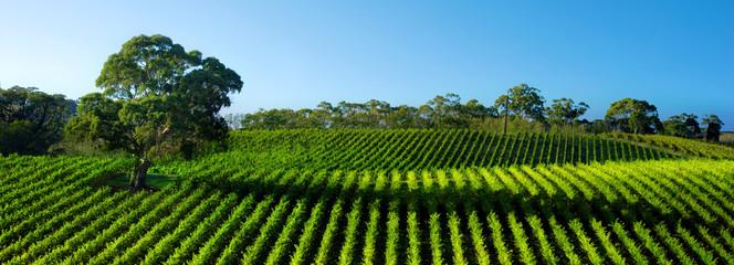 Fototapete - Beautiful Vineyard Panorama with large gum tree