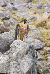 Peregrine Falcon on rock (portrait)