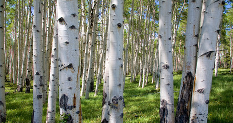 Aluminium Prints Birch Grove Birkenwaldpanorama
