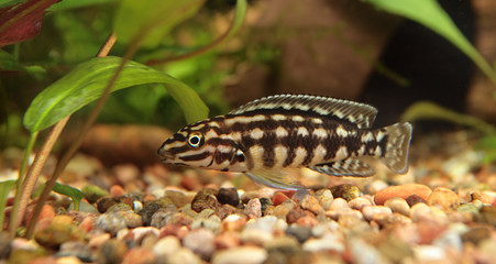 julidochromis Marlieri, aquarian small fish from lake Tanganic