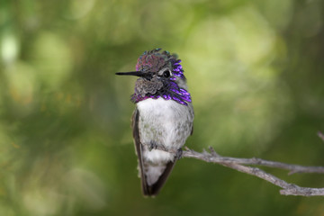 Fotoväggar - Male Costa's Hummingbird (Calypte costae) on a perch