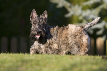 jeune scottish terrier surpris