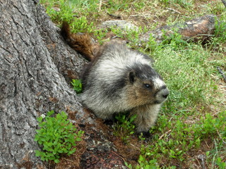 A Marmot--Curious Looking Creature in Canada