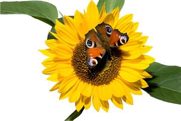 Blume und Schmetterling