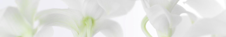 Foto auf AluDibond Orchideen panorama aus weissen orchideen
