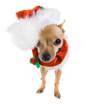 a tiny chihuahua dressed up in a santa costume