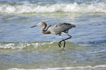 A Reddish Egret fishing in thr surf