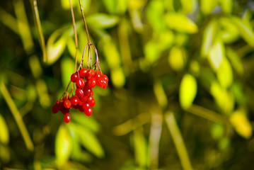 A shot of some red berries on a green natural backgrond