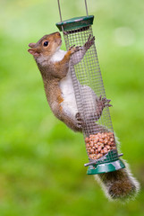 Grey Squirrel on feeder