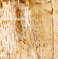 hi res background birch tree bark