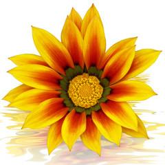 fleur de gazania