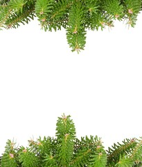 Green pine branches with , isolated on white background