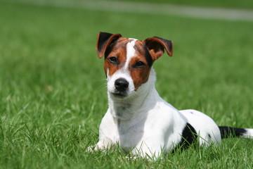 Jack Russel Terrier zen