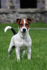 Jack Russel Terrier de face