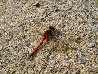 red dragonfly bug