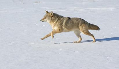 Deurstickers Wolf Coyote