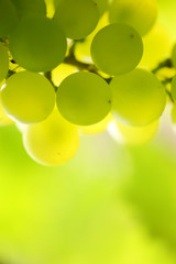 Close-up of a bunch of grapes on grapevine. Shallow DOF.
