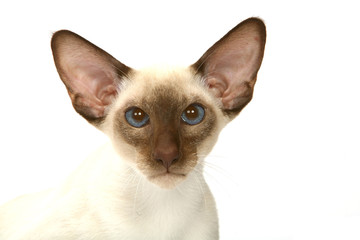 tête de siamois à oreilles très écartées