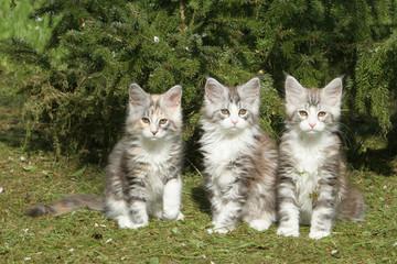 trois jeunes maine coon assis de face ensemble
