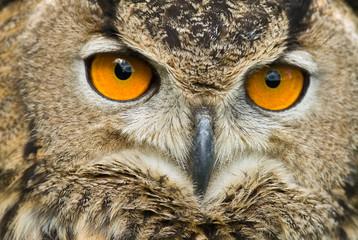Eagle Owl face (close-up)