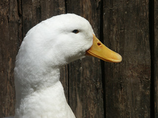 close up shot of a single white duck