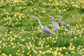 Grey Herons in Daffodils