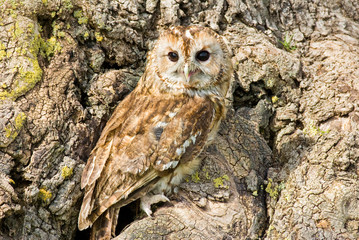 Tawny Owl on tree trunk (close-up)
