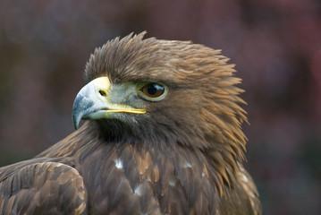 Golden Eagle (Portrait)