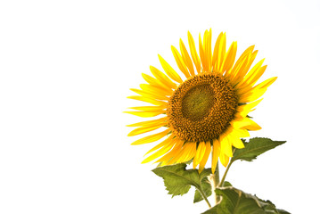Isolate sunflower on white background