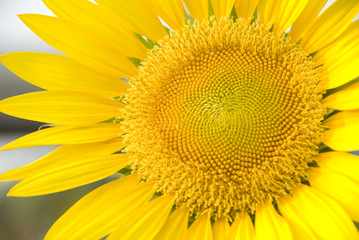 Close up sunflower