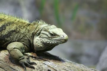Iguana on Log