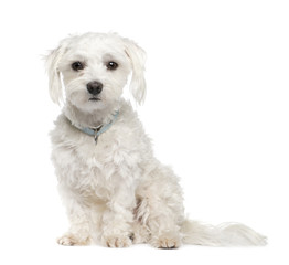 maltese dog (18 months)