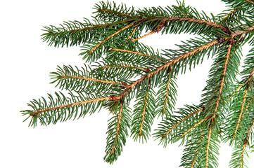 pine fir tree branch