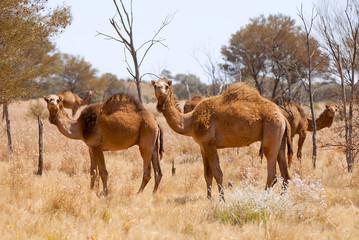 Dromedare im Outback. Australien