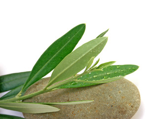 olivier sur galet