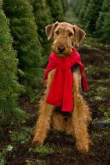 Dog sitting in Christmas tree field