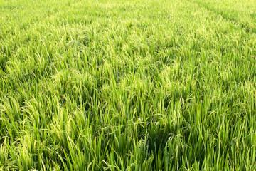 Organic rice field