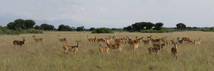 Antelopes 2